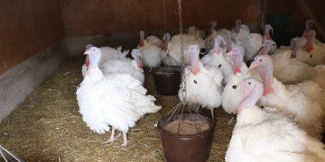 Laukinių paukčių platinamas paukčių gripas gali sunaikinti visą naminių paukščių ūkį