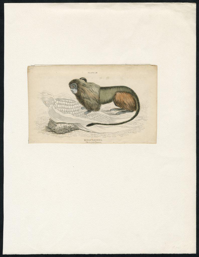 Nykštukinė marmozetė. Dail. V. H. Lizarso plieno raižinys