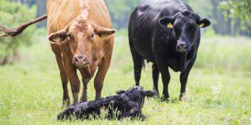 Karvės / Žymanto Morkvėno nuotr.
