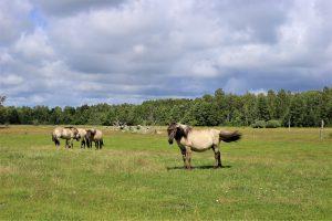 Paper laukinių arklių ganyklos